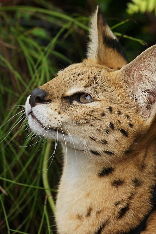 Declawing your Serval pet is not advisable as there are chances that you will need to find a new place for them