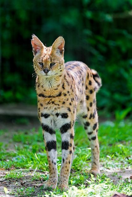 It's natural for Serval cats to mark their territory through scraping and urinating