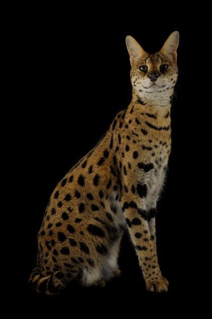 Most pet owners claim that Serval pets are friendly and affectionate, however, it is still important to keep in mind that they are wild animals
