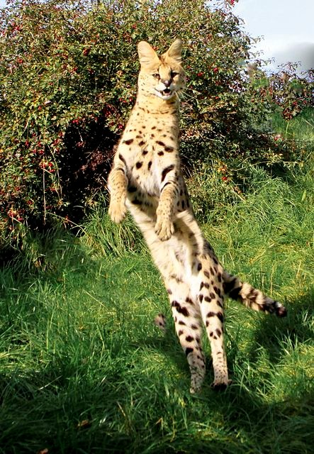 Serval cats can live up to 20 years