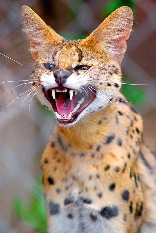 Some countries restrict Serval pet ownership due to the fact that they are considered as wild animals