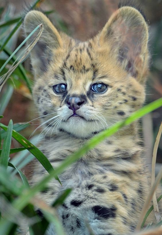 We do not really recommend individuals with little children to keep a Serval cat at home as these animals can play hard using their teeth and claws